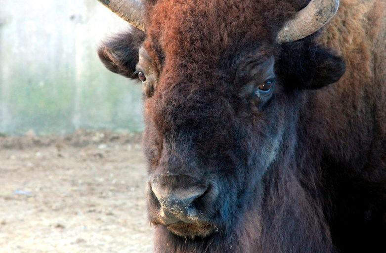 Noticias Casa Rural Cotanilla: Bisontes en Segovia